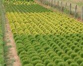 Szabadföldi növények