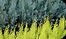 Örökzöld szaporítóanyag