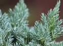 Juniperus - Boróka