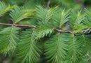 Metasequoia - Kínai ősfenyő