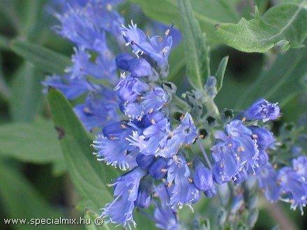 Caryopteris - Kékszakáll