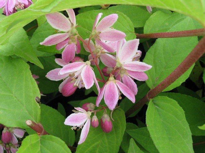 Deutzia - Gyöngyvirágcserje
