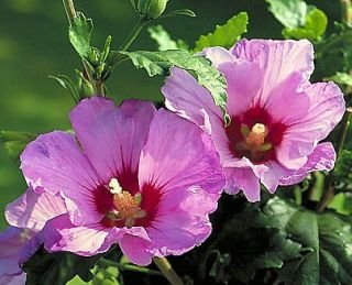 Hibiscus - Hibiszkusz