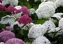 Hydrangea - Hortenzia
