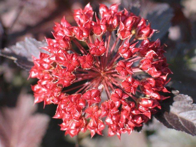 Physocarpus - Hólyagvessző