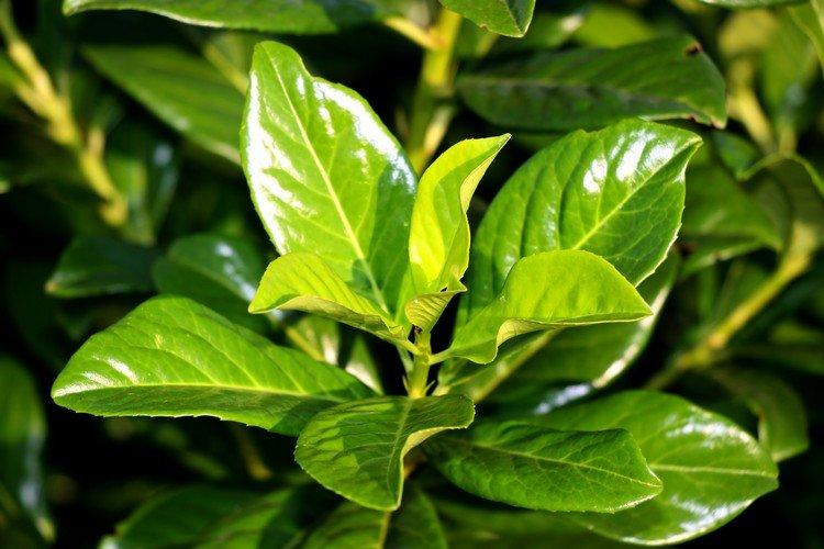 Prunus - Prunus