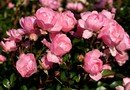 Rosa - Rózsa