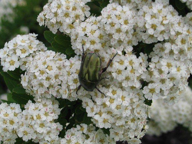 Spiraea - Gyöngyvessző