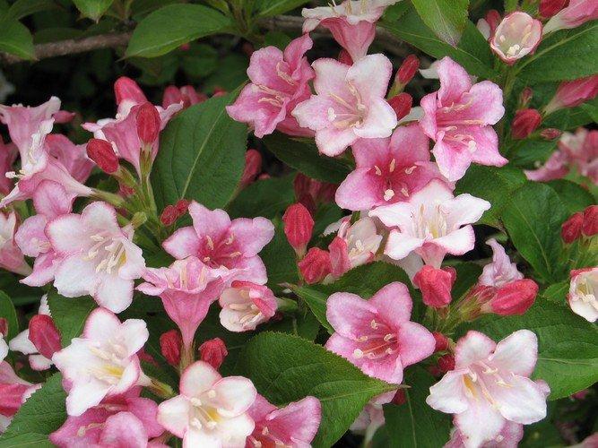 Weigela - Rózsalonc