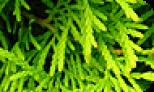 Örökzöldek