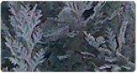 Chamaecyparis - Hamisciprus