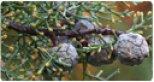Cupressus - Ciprus