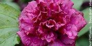 Sokarcú Hibiscus
