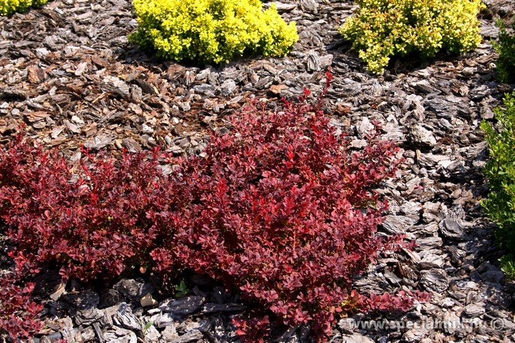 Berberis thunbergii FIRE BALL ®