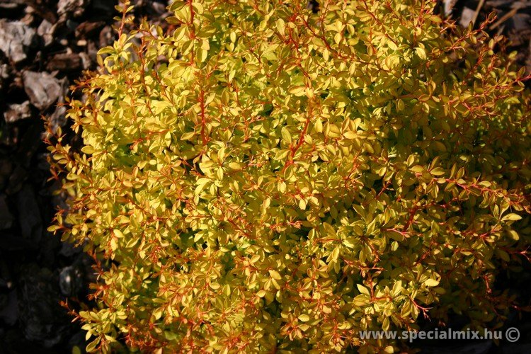 Berberis thunbergii GOLDEN DREAM ®