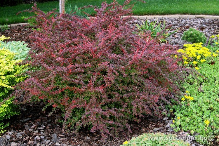 Berberis thunbergii ORANGE DREAM ®