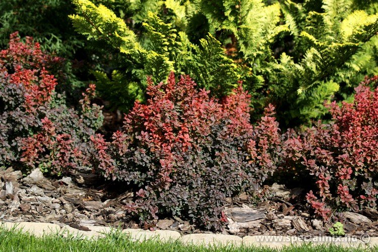 Berberis thunbergii ADMIRATION ®