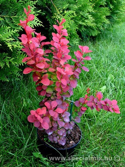 Berberis thunbergii ORANGE ROCKET ®