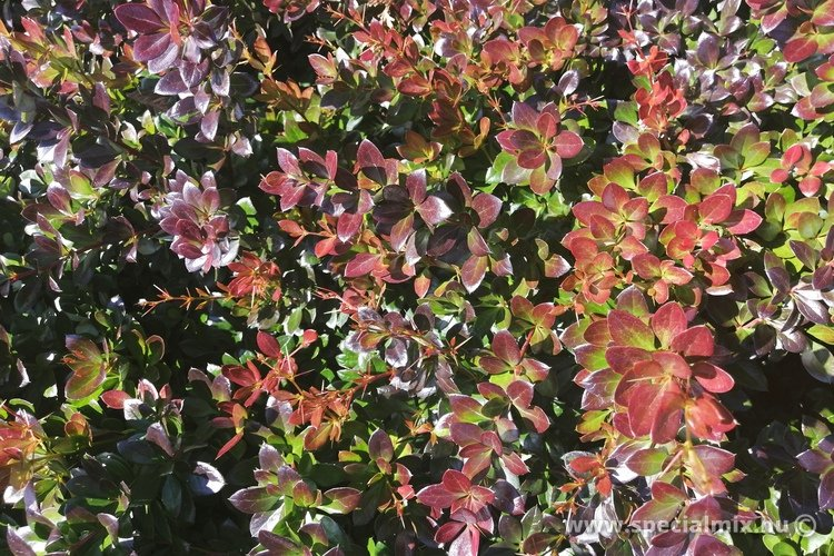 Berberis x media RED JEWEL