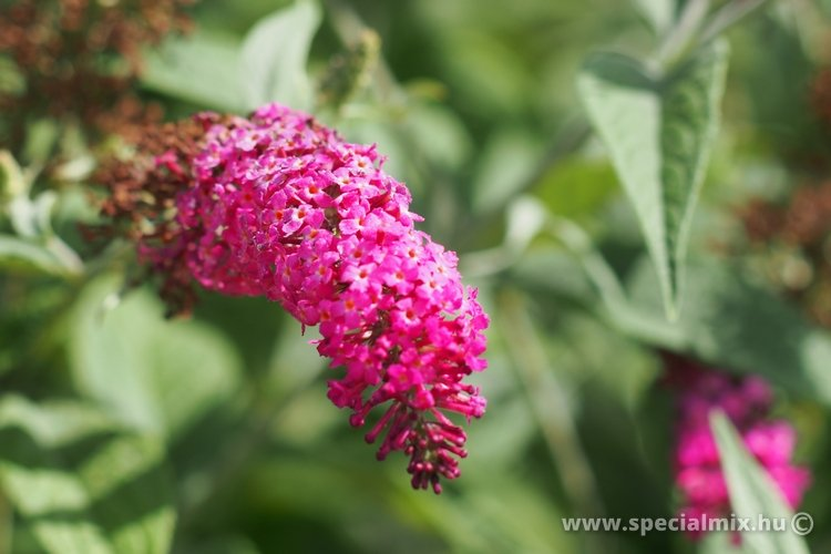 Buddleja MISS RUBY ®