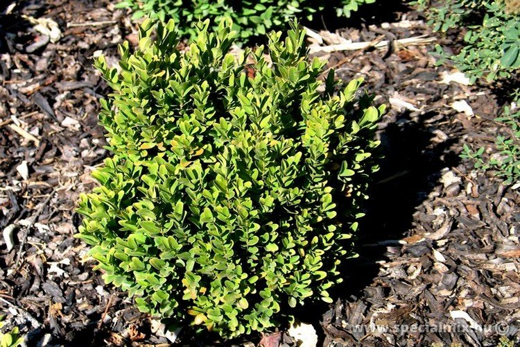 Buxus microphylla COMPACTA
