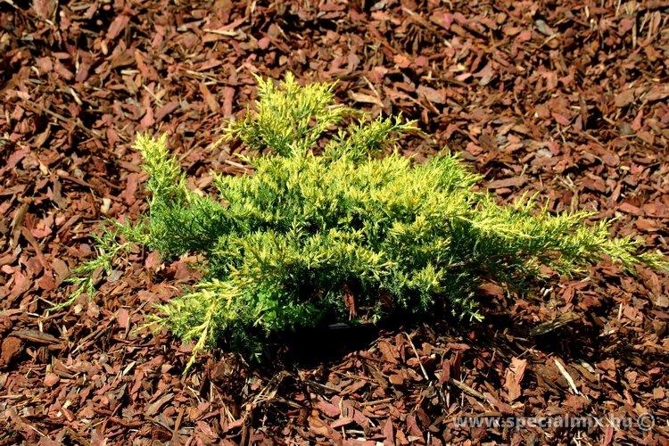 Boróka, Juniperus x media GOLD STAR
