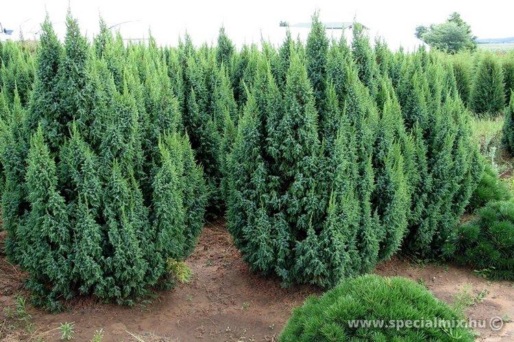 Boróka, Juniperus pingii LODERI