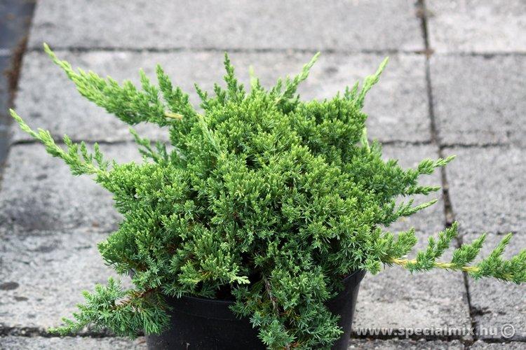Juniperus procumbens BONIN ISLES
