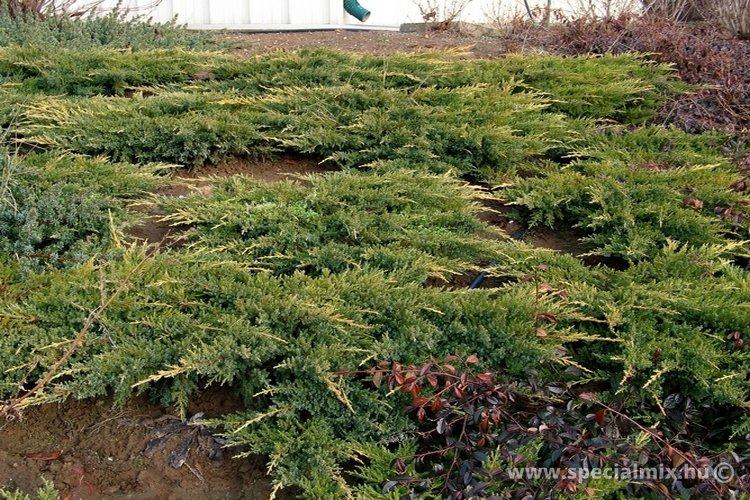 Juniperus x media MORDIGAN AUREA