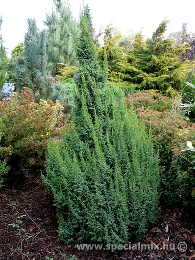 Juniperus pingii LODERI