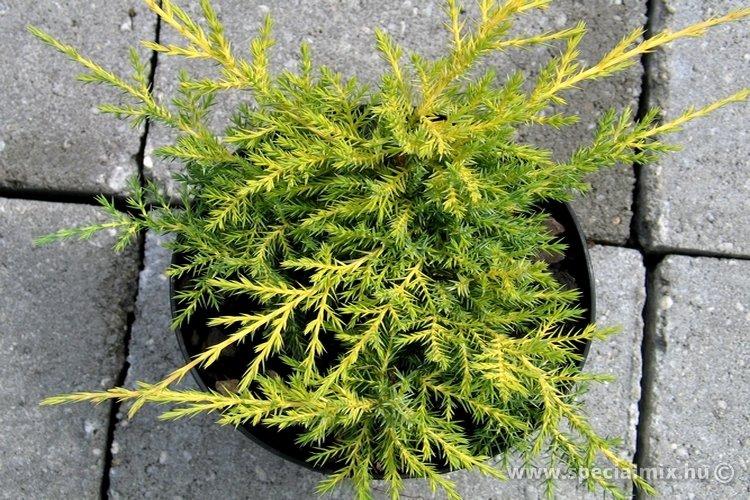 Juniperus x media GOLD STAR
