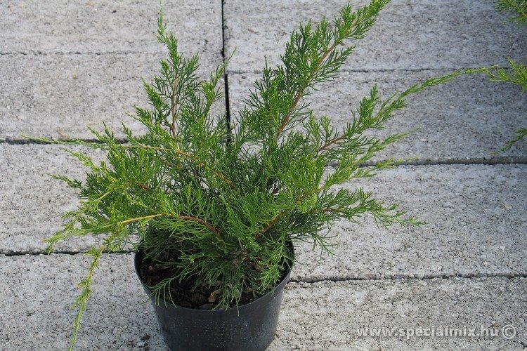Juniperus x media MINT JULEP