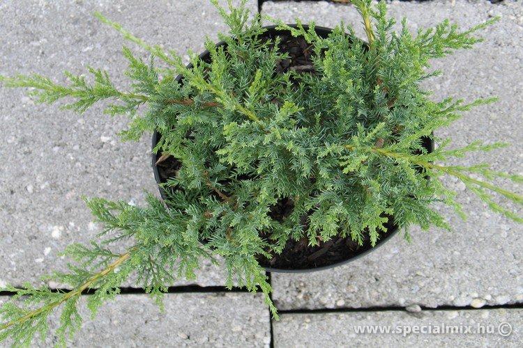 Juniperus sabina BROADMOOR
