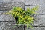 Juniperus x media DIERKS GOLD