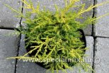Juniperus x media GOLD STAR