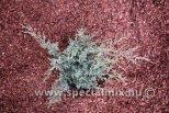 Juniperus x media PFITZERIANA COMPACTA