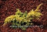 Juniperus x media SAYBROOK GOLD