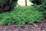 Juniperus rec. PROSTRATA