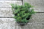 Juniperus sabina ROCKERY GEM