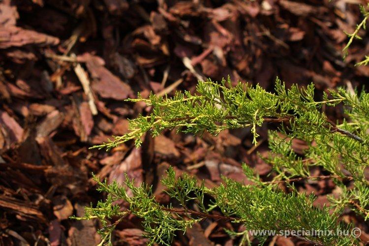 Juniperus virginiana ARANYESÕ