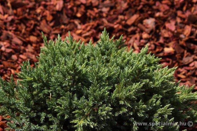 Juniperus squamata GREEN TURTLE