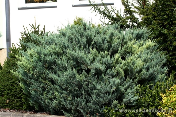 Boróka, Juniperus scopulorum O'CONNOR