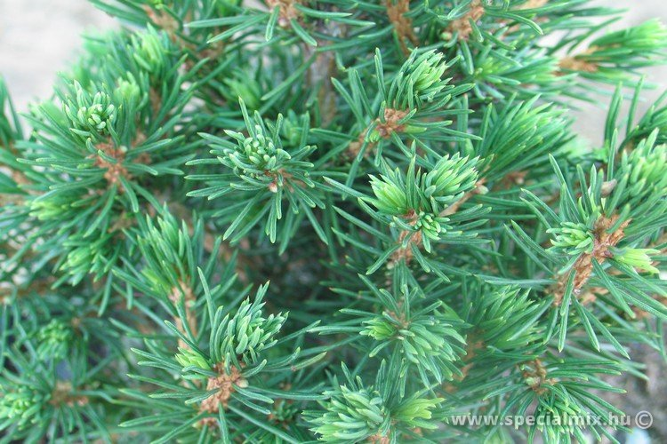 Picea abies TOMPA