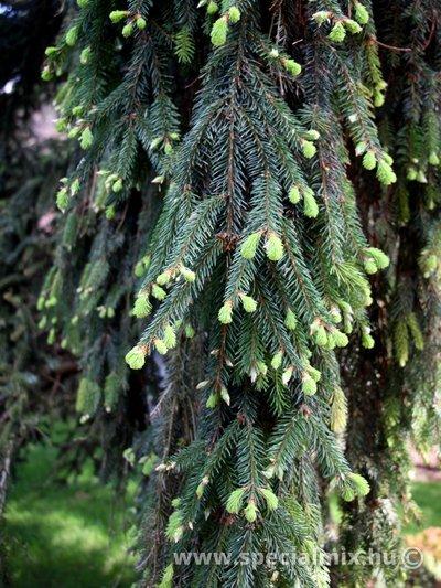 Luc, Picea abies INVERSA