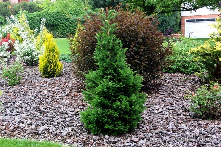 Picea abies WILL'S ZWERG