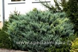 Juniperus scopulorum O'CONNOR