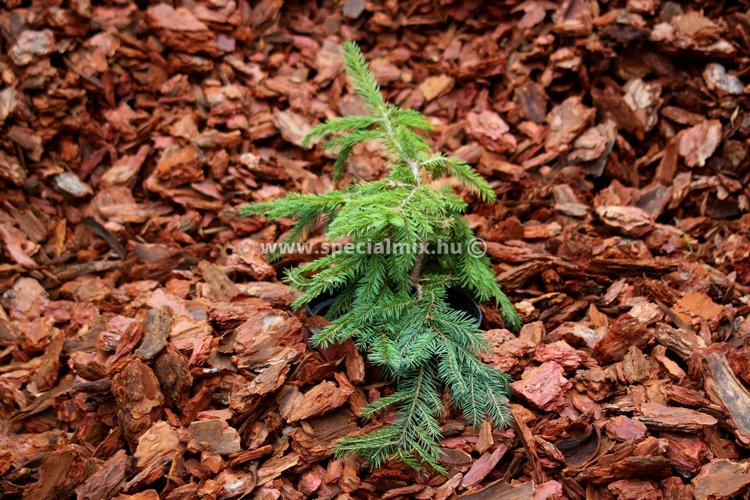 Picea abies FORMANEK
