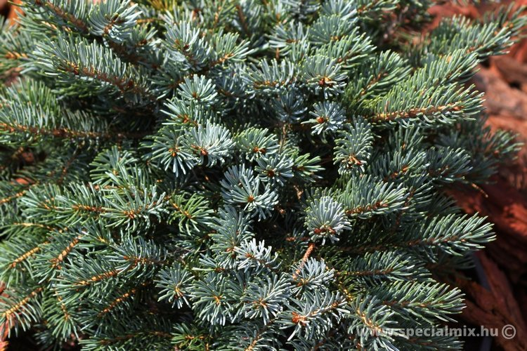 Luc, Picea x mariorica MACHALA