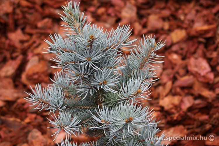Picea pungens BARABITS BLUE
