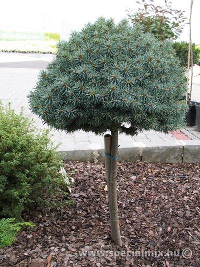 Picea pungens PALI